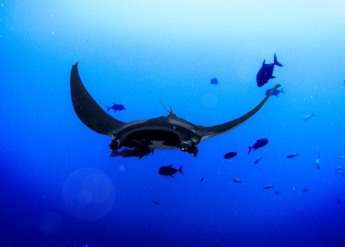 Pari Manta di Kepulauan Derawan